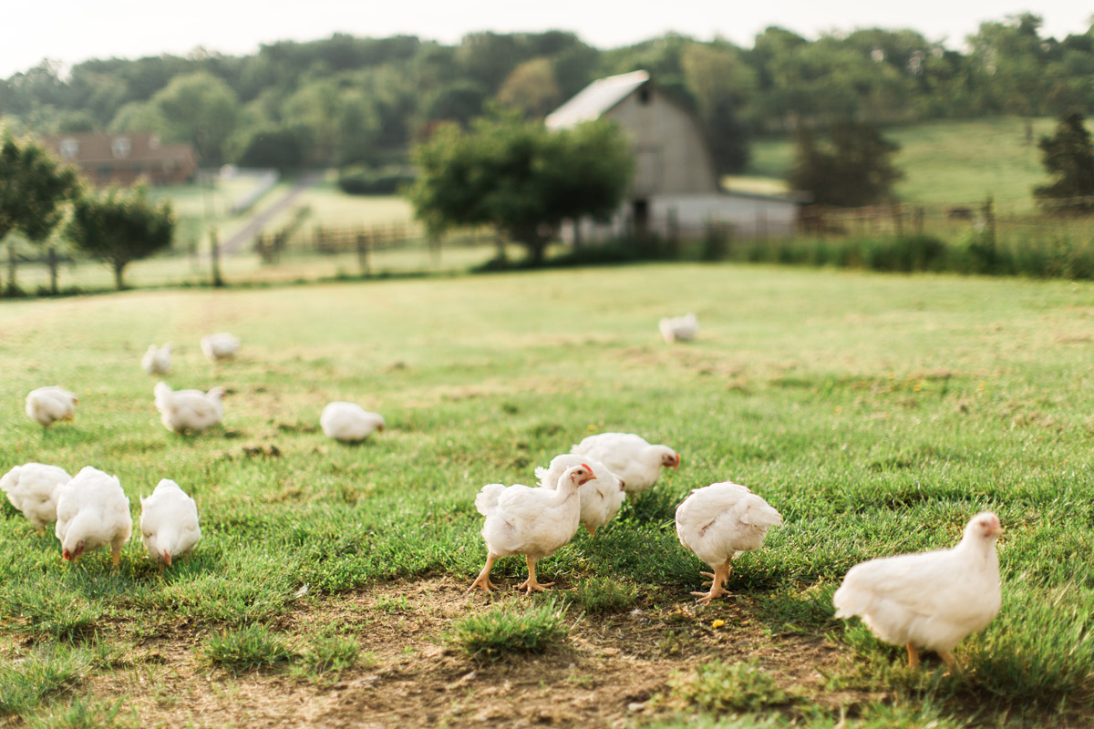 all natural chicken wholesale