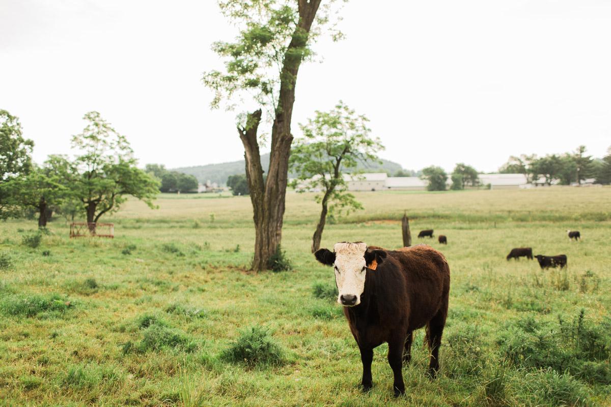 Cattle Feed - No Added Hormones - Non GMO - Sunrise Farms
