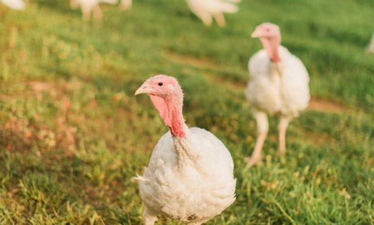 turkey starter feed