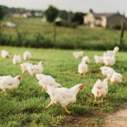 free range chickens running around