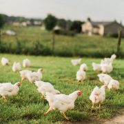 all natural chicken