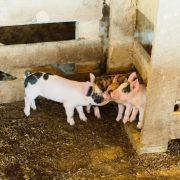 Berkshire pork piglets nuzzling each other